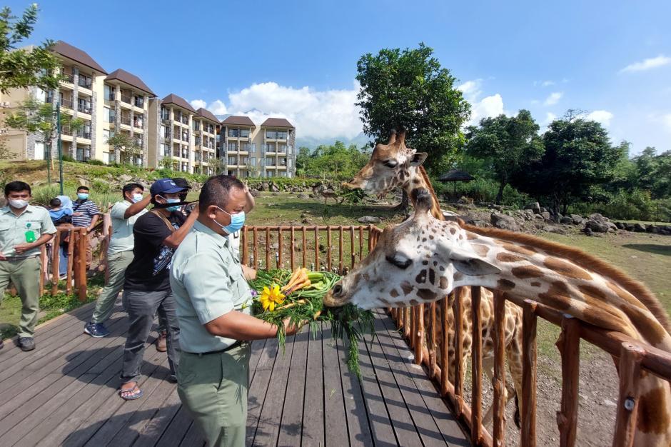 World Giraffe Day, Jerapah Baobab Safari Resort Taman Safari Prigen Dapat Hadiah Tumpeng Special-1