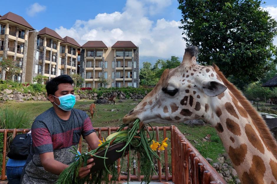World Giraffe Day, Jerapah Baobab Safari Resort Taman Safari Prigen Dapat Hadiah Tumpeng Special-0
