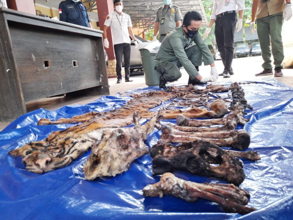 Miris, Kulit dan Tulang Harimau Sumatera Ini Dijual Seharga Rp80 Juta-3
