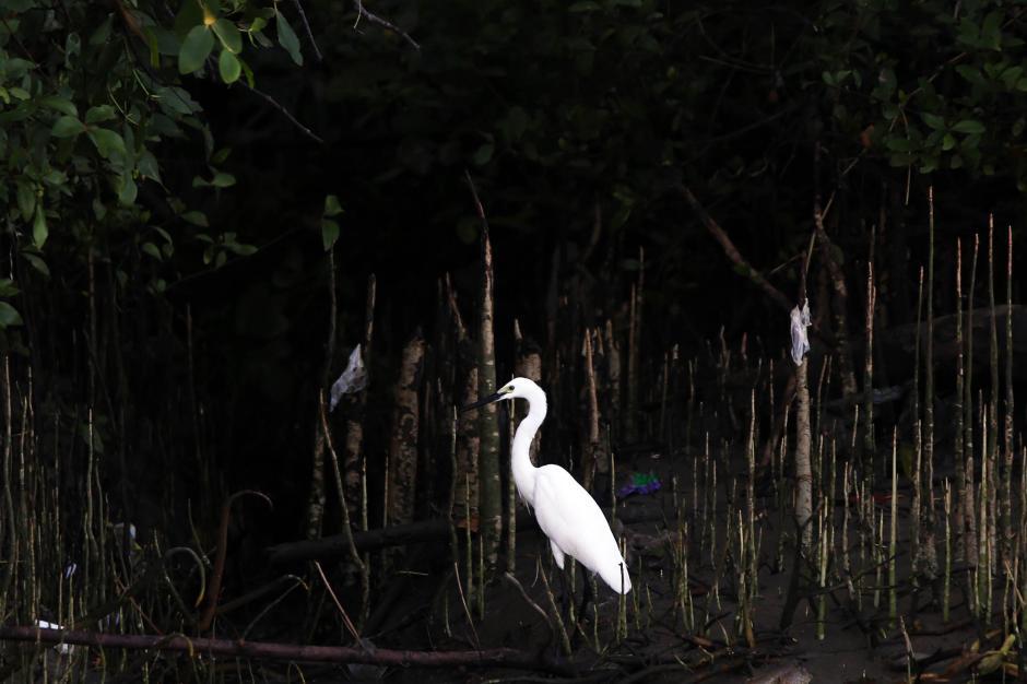 Satwa Liar di Balik Rindangnya Hutan Bakau Ekowisata Mangrove Wonorejo Surabaya-1